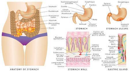 Maag anatomie. Maag anatomie van het menselijk spijsverteringsstelsel interne organen. Een maagklierwerking. Maagwand. Maagkanker Stage. Maagzweren, of maagzweren op wit.