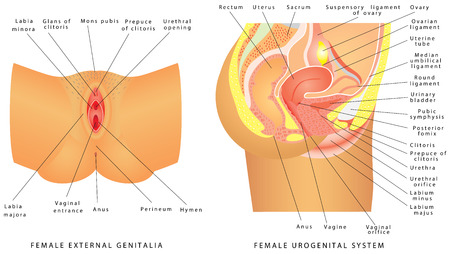 female reproductive system: Female urogenital system. Anatomy of the female reproductive system. Female reproductive system median section, genital organs. Female External Genitalia