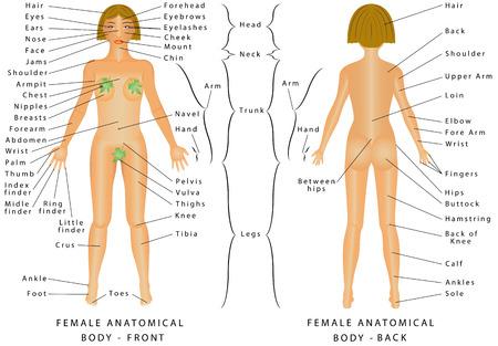 Regiones del cuerpo femenino. cuerpo femenino - delantera y trasera. Mujer humano Partes del cuerpo - Gráfico de la anatomía humana. Los nombres anatómicos y nombres comunes correspondientes están indicados para regiones específicas del cuerpo Ilustración de vector