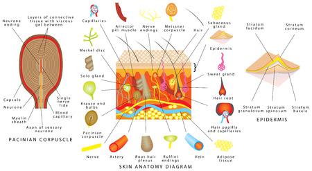 Skin anatomy diagram. Sensory receptors in skin. Human skin detailed diagram. Skin structure components