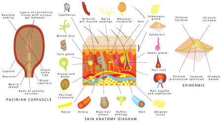 Skin anatomy diagram. Sensory receptors in skin. Human skin detailed diagram. Skin structure components