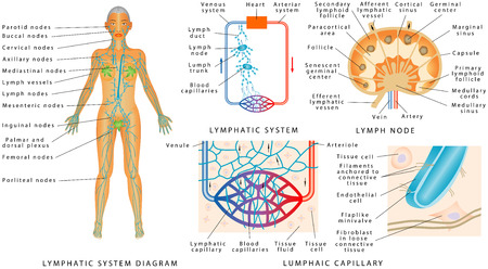 Sistema linfático - Diagrama linfático en humanos. Estructura de un ganglio linfático: órgano del sistema linfático. Intercambio de fluidos entre los sistemas circulatorio y linfático. Ilustración de vector