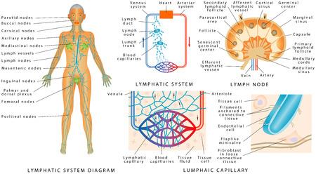 Système lymphatique - Diagramme lymphatique chez l'homme. Structure d'un ganglion lymphatique - organe du système lymphatique. Échange de fluides entre les systèmes circulatoire et lymphatique. Vecteurs