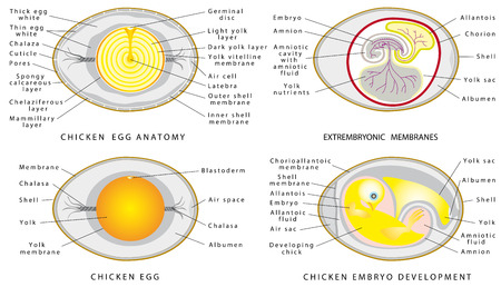 Chicken egg structure on a white background. Cross section of bird embryo inside egg.