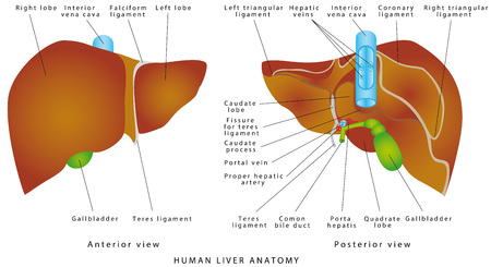 Liver anatomy. Gallbladder on a white background. The gallbladder and bile duct