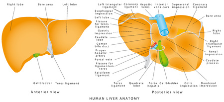Anatomy of the liver. Gallbladder on a white background. The gallbladder and bile duct Ilustração