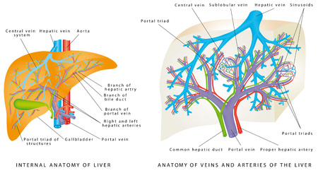Liver Circulatory System. Anatomy Of Veins And Arteries Of The Liver. Gallbladder, aorta and portal vein, hepatic duct. Anatomy of the liver, showing the gallbladder