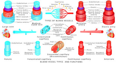 Arteries and veins. Structure of blood vessels. Blood vessel types and functions. Anatomy of blood vessels from capillaries to vein. Scheme of the walls of the artery and vein. Illustration