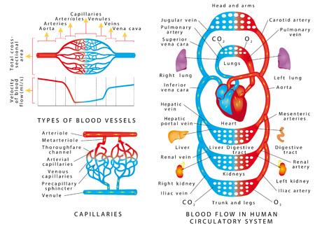 Flusso sanguigno umano. Schema dei vasi sanguigni. Flusso Di Sangue Nel Sistema Circolatorio Umano. Tipi e funzioni dei vasi sanguigni su sfondo bianco. Sistema sanguigno umano Vettoriali