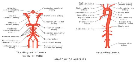 Anatomy of arteries. The diagram of aorta. Internal carotid, Vertebrobasilar systems and circle of Willis. Abdominal Vascular Anatomy. Abdominal Vasculature. Structure of the Aorta and its branches Illustration