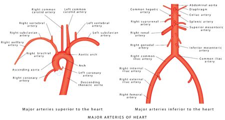 The major arteries. Abdominal Vascular Anatomy. Abdominal Vasculature. Structure of the Aorta. The Aorta and its branches. Major arteries superior to the heart. Major arteries inferior to the heart