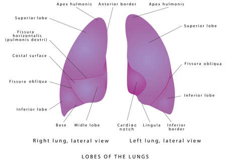The human lungs. Right Lung And Left Lung Diagram Lung lobe lateral view. Detailed diagram of the human lungs on white background. Structure of the human lungs. Lobes of the lungs