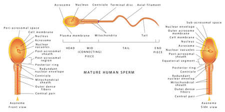 The semen of men. Human Sperm cell Anatomy. Human Sperm cell Anatomy structure of spermatozoon. Male sperm detailed diagram