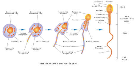 Sperm Development. Espermatozoide. Diagram of a human sperm cell. The development of sperm, Human Sperm cell Anatomy structure of spermatozoon.