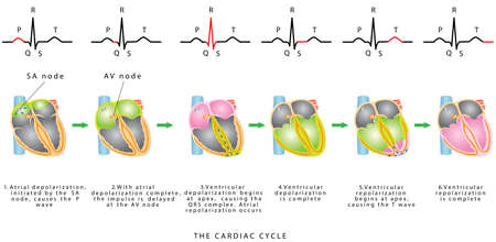 The Cardiac Cycle. The sequence of heart excitation is associated with the deviation of ECG waves by tracing. Diagram of the phases of cardiac cycle. Vectores