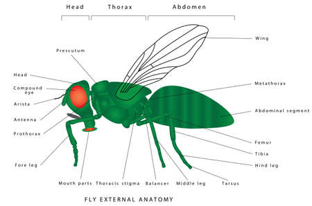 Anatomy of a fly. Fly external anatomy. Morphology of a fly (lateral view). A green common fly. Insect - a realistic fly, fly silhouette. Diagram showing parts of fly. External structure of a generali