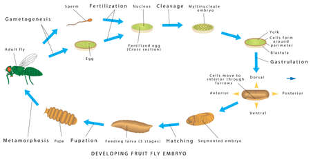 Fruit fly. Developing fruit fly embryo on a white background. Drosophila - Invertebrate development. The Drosophila life cycle consists of a number of stages - embryogenesis, three larval stages