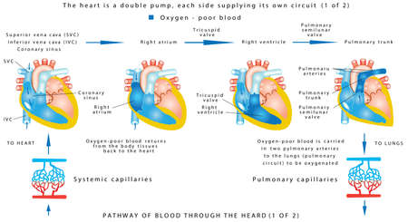Blood flow (1 of 2). The human heart work. Human circulatory system on white background. Pathway of blood through the heart. The heart is a double pump, each side supplying its own circuit (1 of 2).