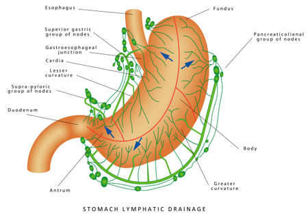 Lymphatic drainage of the stomach. Human Anatomy - Stomach Nodes Anatomy. Stomach Lymphatic system Lymph node Lymphatic vessel