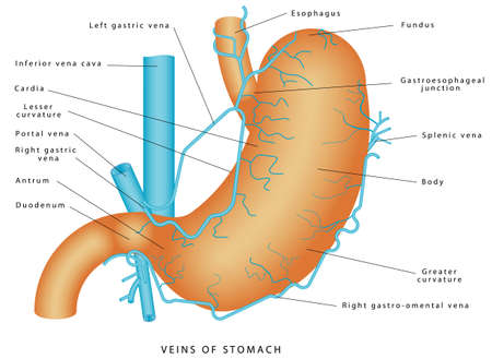 Veins of stomach. Stomach - Blood supply & venous drainage of stomach. Short gastric vein. Veins drain into portal circulation. Structure and function of Stomach Anatomy system