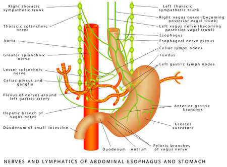 Abdomen. Nerves and lymphatics of abdominal esophagus and stomach. Nerve supply to the stomach. Autonomic Innervation of Stomach Illustration