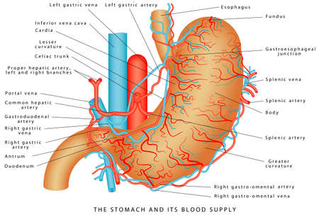 The Stomach and its Blood Supply. Stomach Vasculature. Stomach anatomy of the human internal digestive organ. Parts of the stomach on white background.