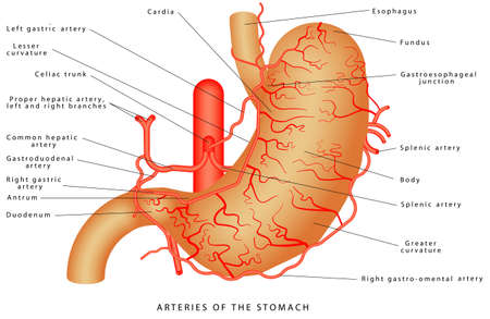 Arteries of the stomach. Arterial Blood Suply of the Stomach. Structure and function of Stomach Anatomy system on white background. Stomach anatomy of the human internal digestive organ Illustration