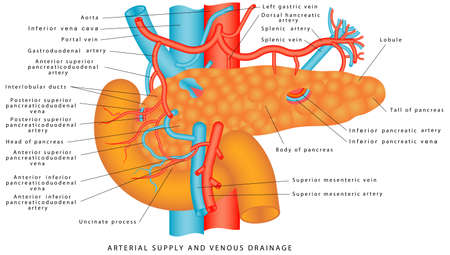 Blood supply of the pancreas. The vasculature of the pancreas. Arterial supply and venous drainage of the pancreas and spleen. Anatomy of the pancreas and upper abdomen. Structure and function of Sto