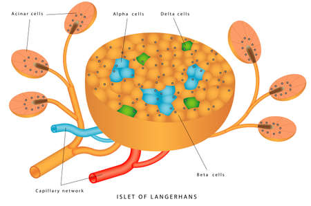 Pancreatic islet. The islets of Langerhans are responsible for endocrine function of pancreas. Each islet contains beta, alpha, and delta cells that are responsible for the secretion of a hormones
