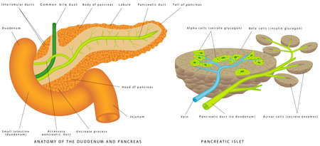 Pancreaticobiliary System. Structure and Function of the Pancreaticobiliary System. Pancreas and duodenum location. The islets of Langerhans are responsible for endocrine function of pancreas