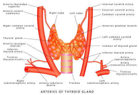 Thyroid Gland arteries. Thyroid Gland - Endocrine Glands and Their Hormones. Arterial supply of thyroid gland. The thyroid gland is located on the anterior surface of the trachea. Endocrine System Dia
