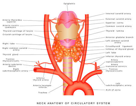 Arteries of the neck. Neck anatomy of circulatory system. Anterior view of the neck region artery. Blood vessels of the neck on white background.