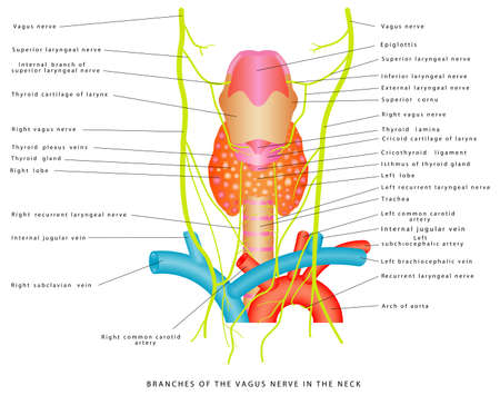Vagus nerve. Branches of the vagus nerve in the neck. Anatomical relationships between superior thyroid artery and external branch of superior laryngeal nerve