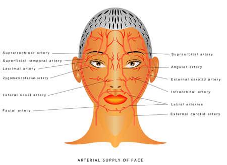 Facial arteries. Arteries of head Facial artery Branch of external carotid artery. The arterial supply of the face. Arterial supply to the forehead, nose and lips.