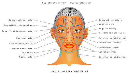 Facial artery and veins, circulatory system, section head. Blood Vessels of the Face. Superficial Arteries and Veins of Face.