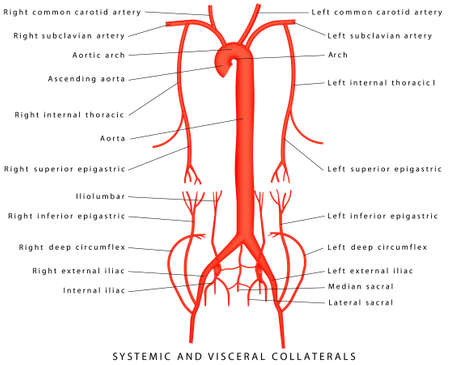 Systemic and Visceral Collaterals. Anatomy of arteries. The diagram of aorta. Major arteries superior to the heart. Major arteries inferior to the heart. Collaterals-sideways or bypasses of blood flow