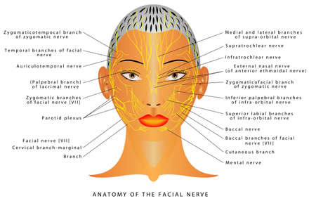 Anatomy of the facial nerve.