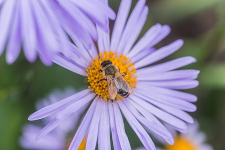 asteraceae: Aster alpinus or Alpine aster purple or lilac flower with a bee collecting pollen or nectar. Purple flower like a daisy in flower bed.