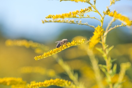 Solidago, goldenrod yellow flowers in summer. Lonely bee sits on a yellow flowering goldenrod and collects nectar 版權商用圖片 - 85632482