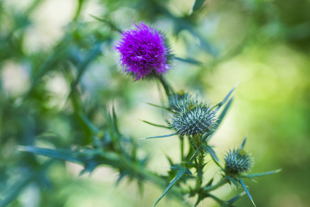 Carduus or plumeless thistles purple flower close-up on thorns background. Honey plants of Europe. Stock Photo