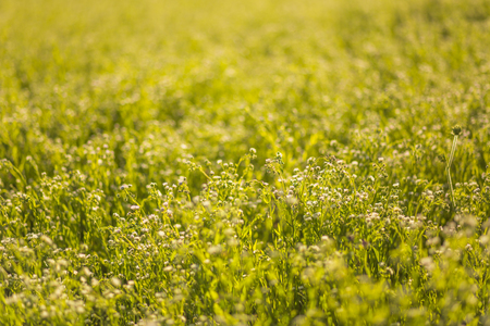 A yellow field with a Melilotus, known as melilot, sweet clover, and kumoniga, . Honey plant of Europe.