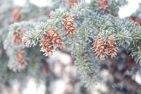 Mature cone on Branch of blue fir-tree blue, green, white, Colorado blue spruce, Picea pungens covered with hoarfrost. New Years Bekraund. Place for a copy-paste. Stock Photo