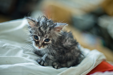Wet soggy scared kitten after bath. Animal hygiene. Destruction of parasites. Treatment from fleas. Stock Photo