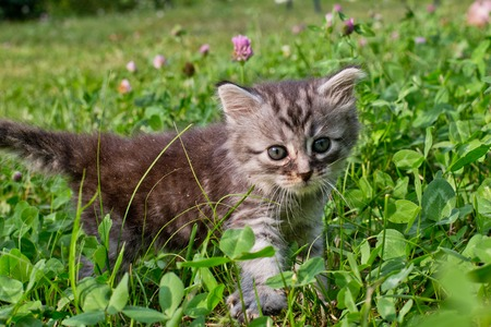 little kitten Maine Coon lifted his foot over clover and grass. first walk of healthy Felis catus. Cat among flowers. Mei-kun first month old.
