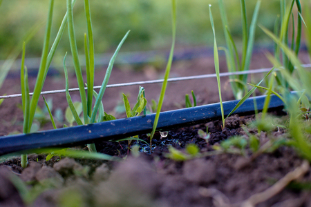 Cultivation of onions in the garden in the village in the country. Drip Irrigation Systems. Weed next to the garden. The bed of onions ordinary bulb. Slebli leaves and spicy vegetable crops of onions. Copy space Standard-Bild