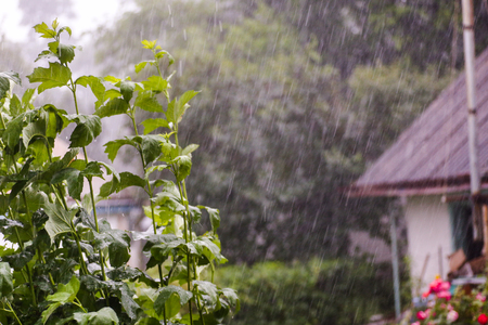 A heavy downpour. Raindrops on a background of foliage. Wet the leaves of the trees. Stock fotó
