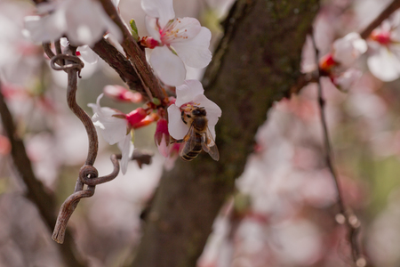 glandular: Bee on flower of Nanking cherry, Prunus tomentosa