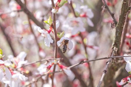 Bee on flower of Nanking cherry Prunus tomentosa