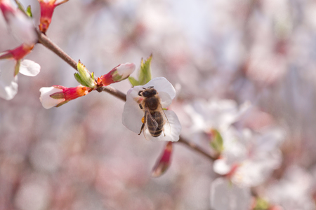 glandular: Bee on flower of Nanking cherry (Prunus tomentosa). White flowers on a Chinese dwarf cherry