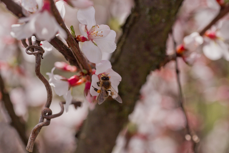 glandular: Bee on flower of Nanking cherry (Prunus tomentosa). White flowers on a bush downy cherry